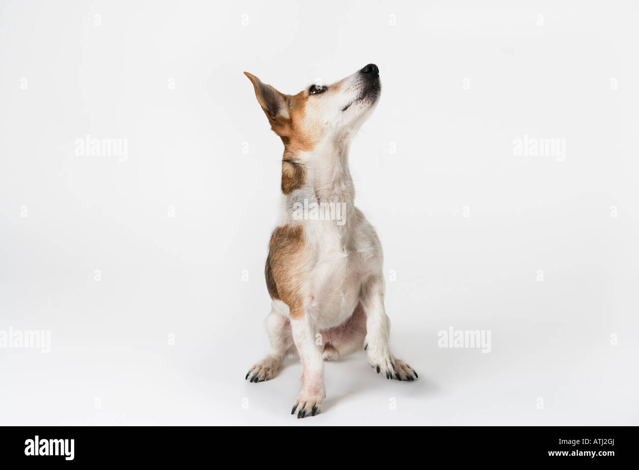 dog looking up - Stock Image