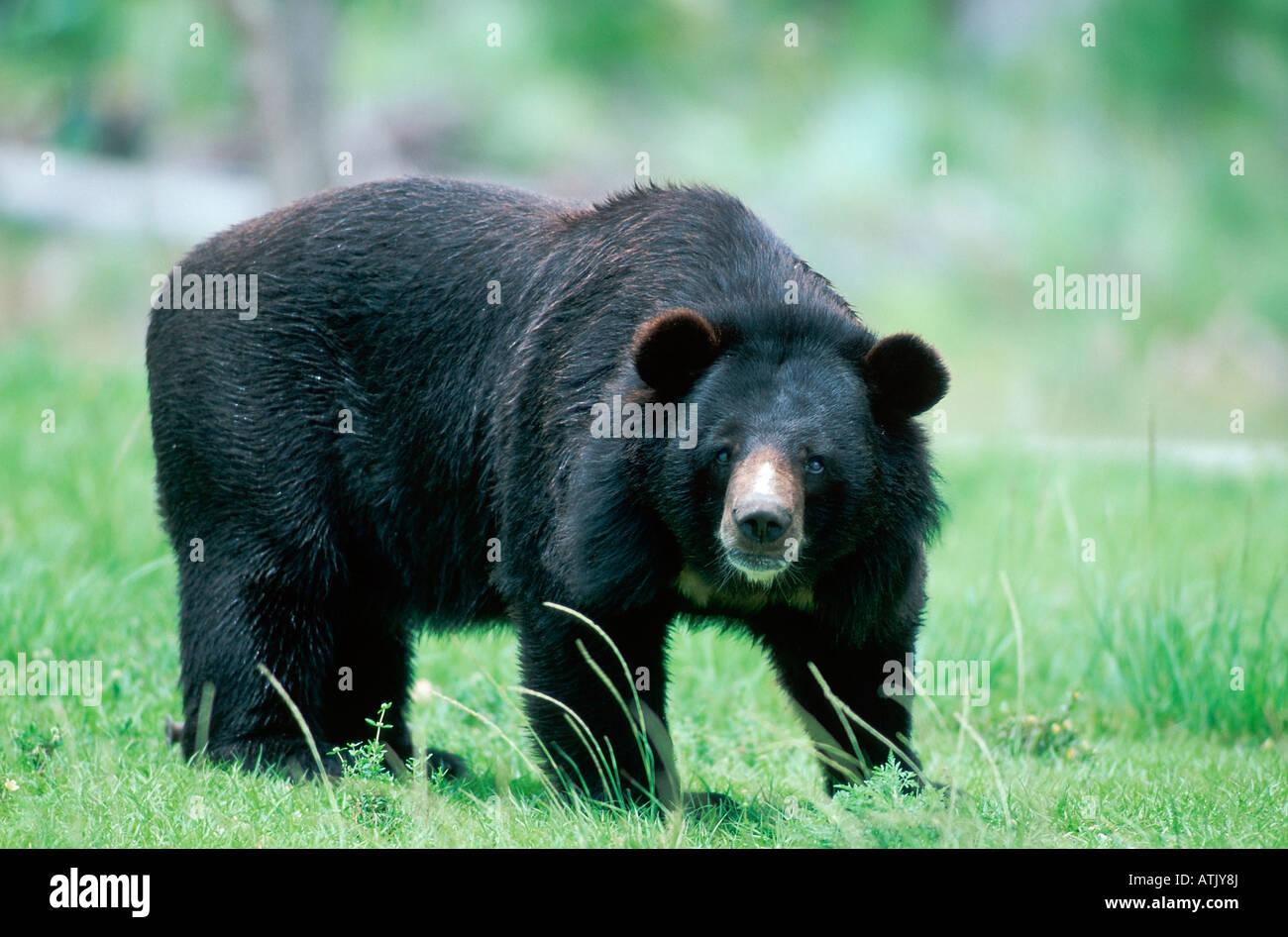 Asiatic Black Bear / Himalayan Bear / Tibetan Bear - Stock Image