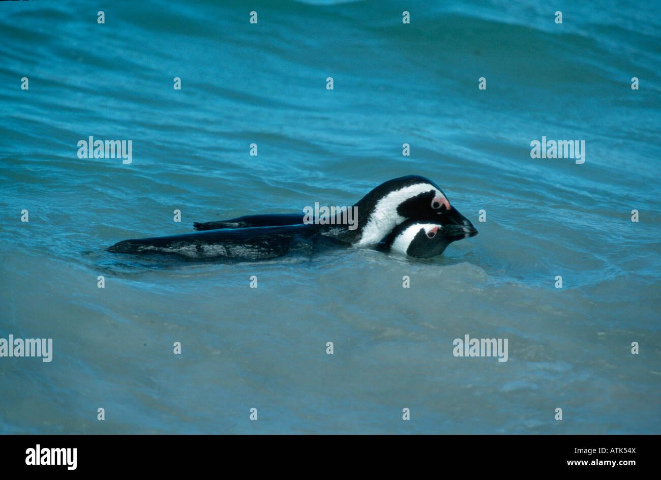 Jackass Penguin / Brillenpinguin Stock Photo