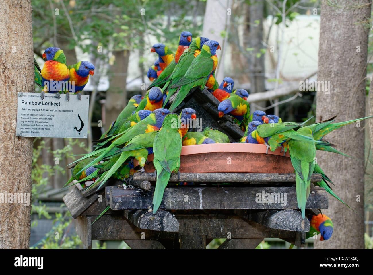 Rainbow Lory / Regenbogenlori / Gebirgslori Stock Photo