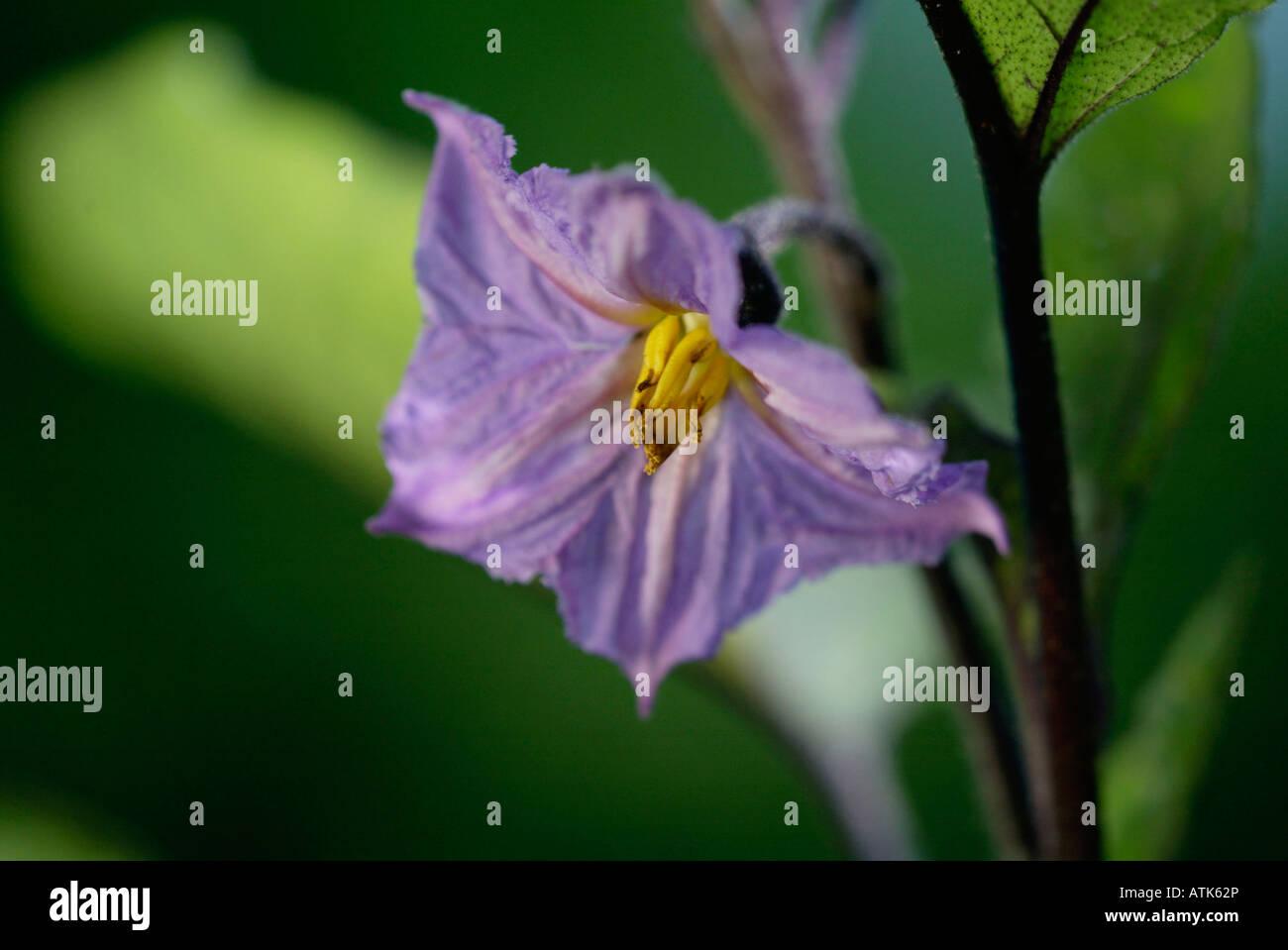 Eggplant / Aubergine / Eierfrucht Stock Photo