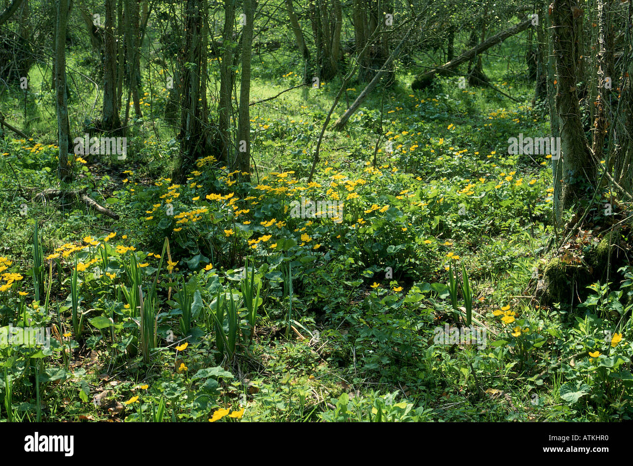 William Wordsworth Daffodils Stock Photos & William