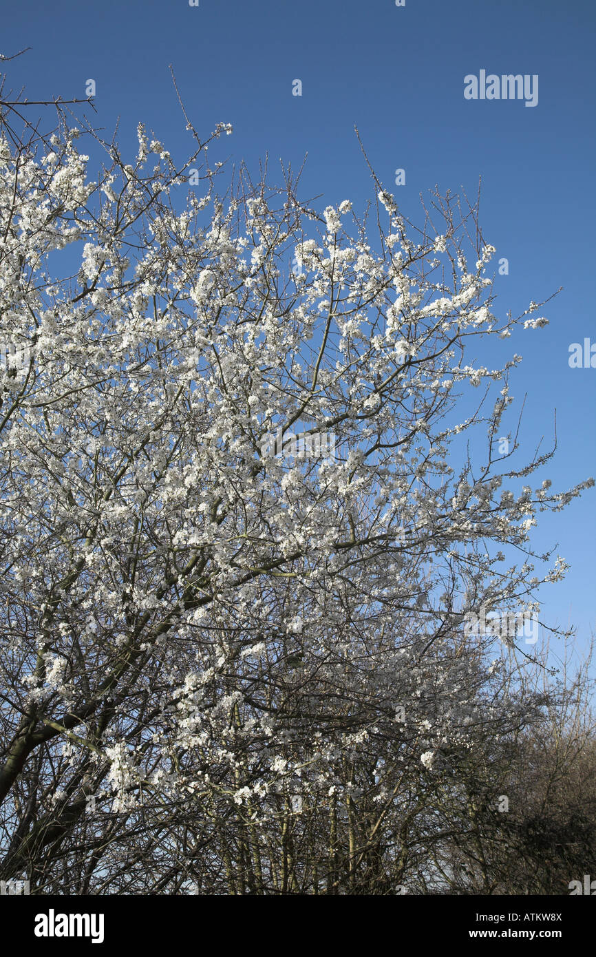Hawthorn blossom also called May blossom in flower in February against blue sky - Stock Image