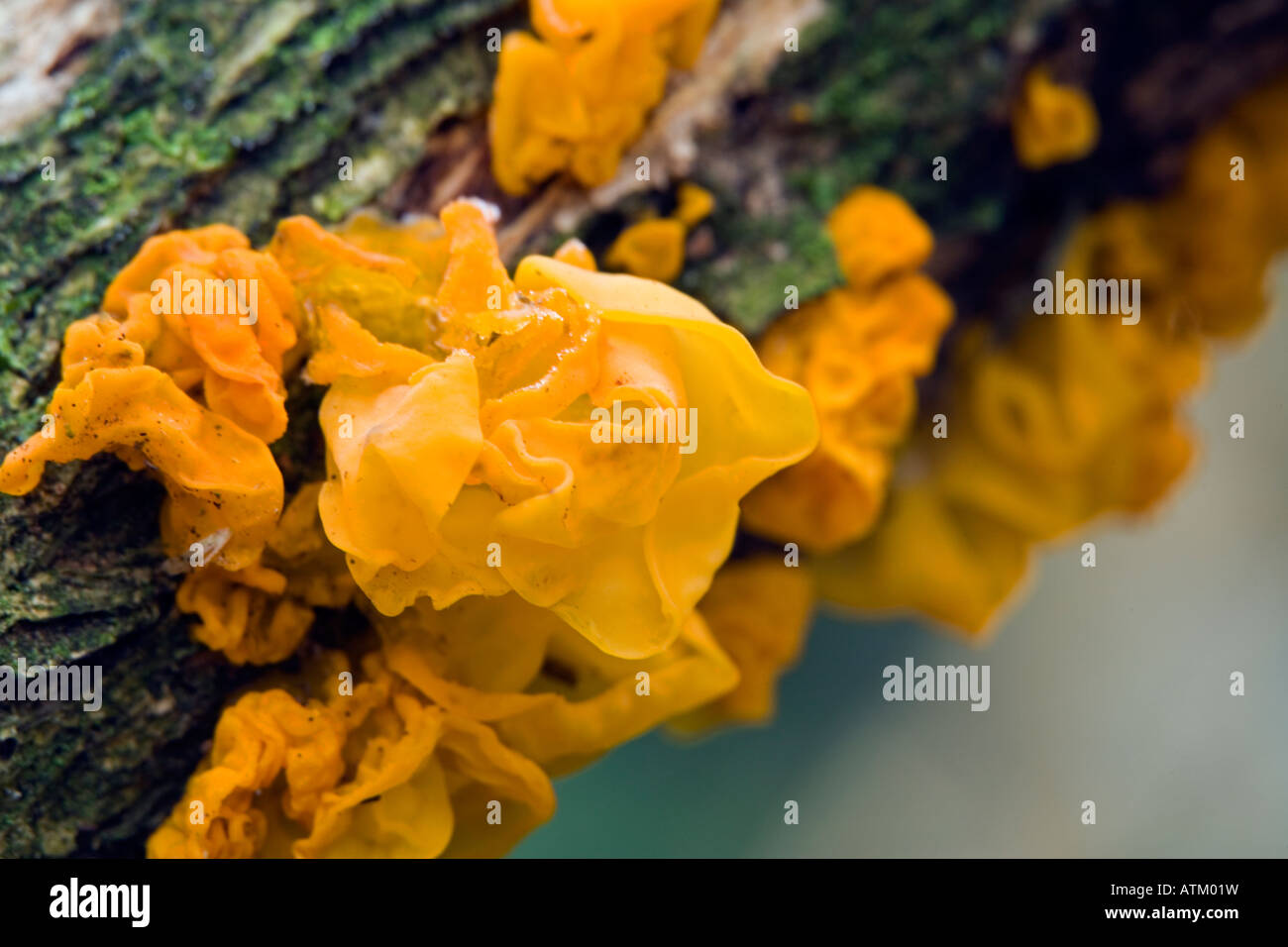 macro view of witches butter fungus tremella mesenterica - Stock Image