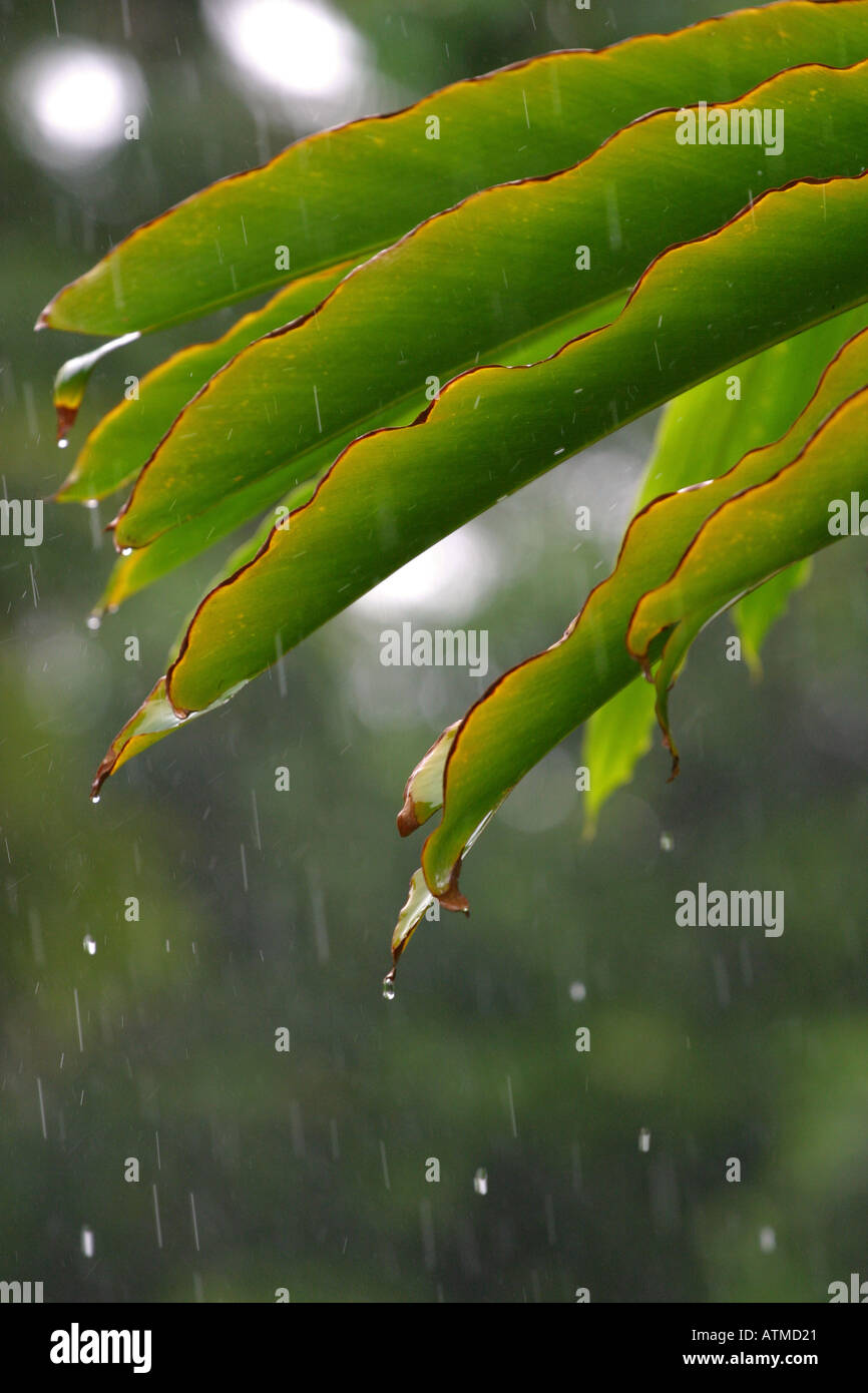 Rain drops fall off the end of a bright green palmtree leaf during a thundery tropical afternoon shower Australia - Stock Image