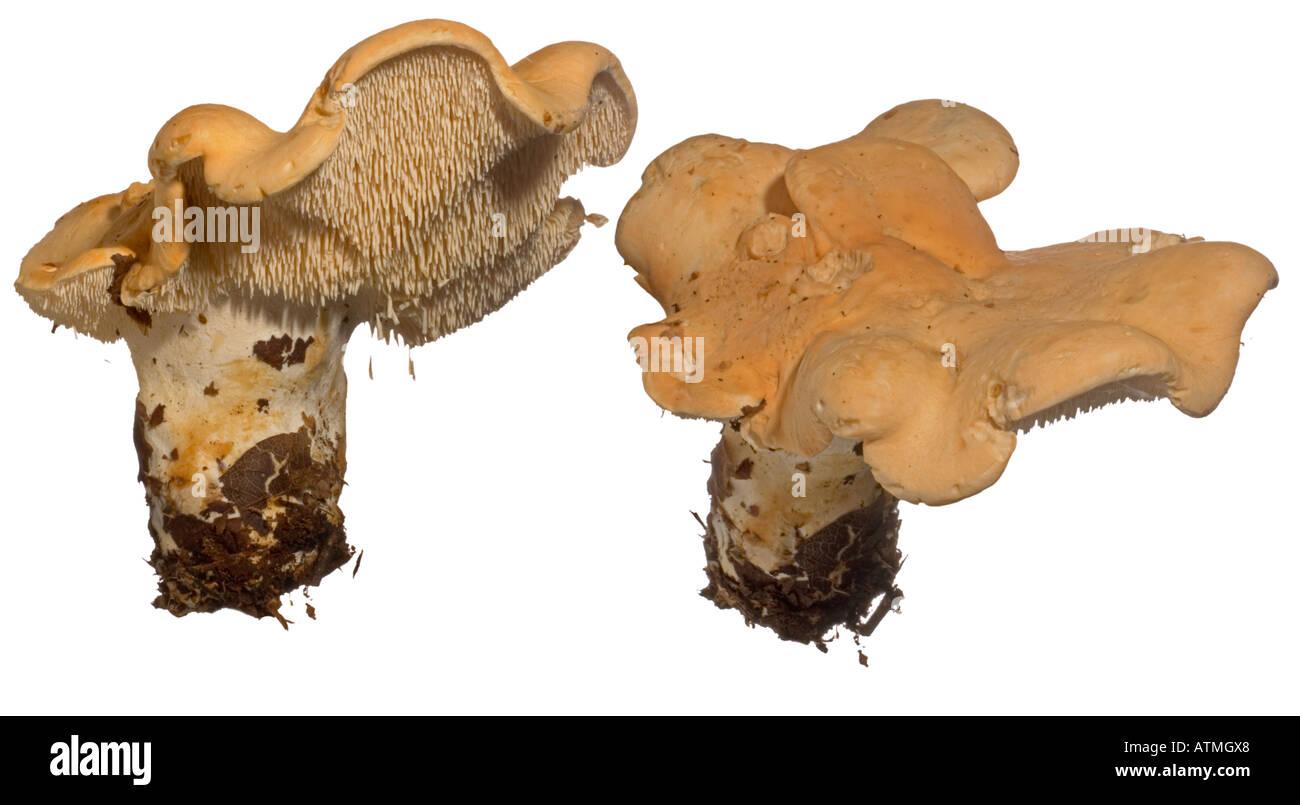 Wood Hedgehog or Hedgehog Fungus Hydnum repandum. Underside spines cap Surrey England Edible - Stock Image