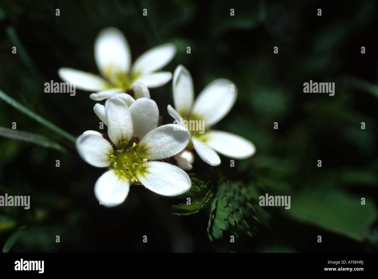 White mountain flowers stock photo 16350821 alamy white mountain flowers mightylinksfo