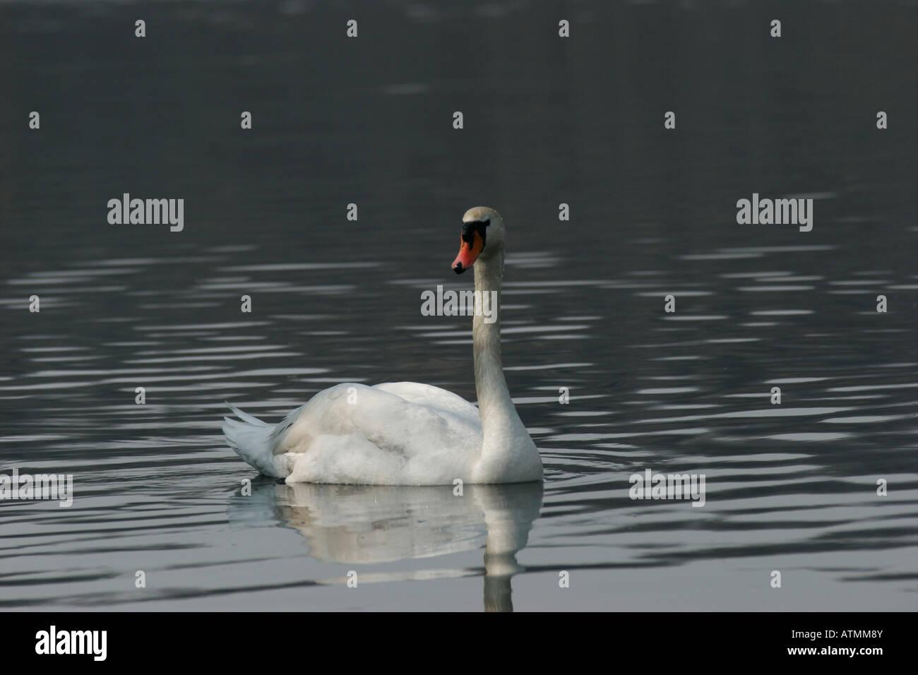 Cygnus olor. Italian swan Lago Sirio, Ivrea, Piemonte, italy - Stock Image