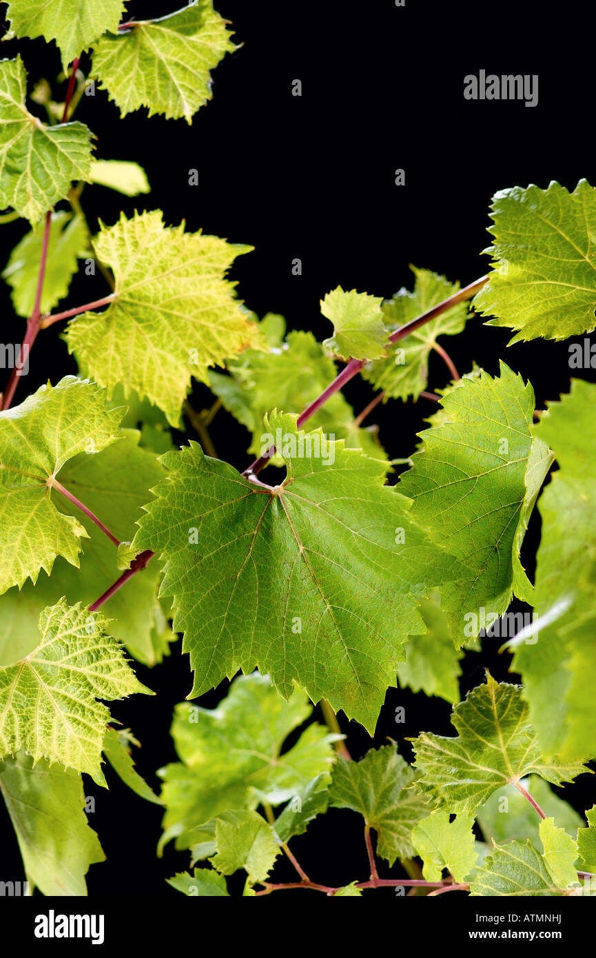 grape vine - Stock Image