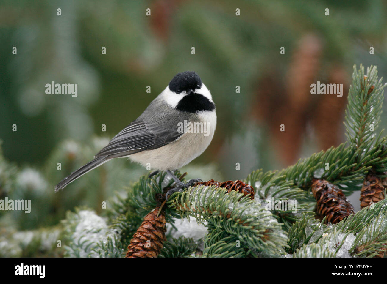 Carolina Chickadee Perched in Snow Covered Spruce Tree Stock Photo