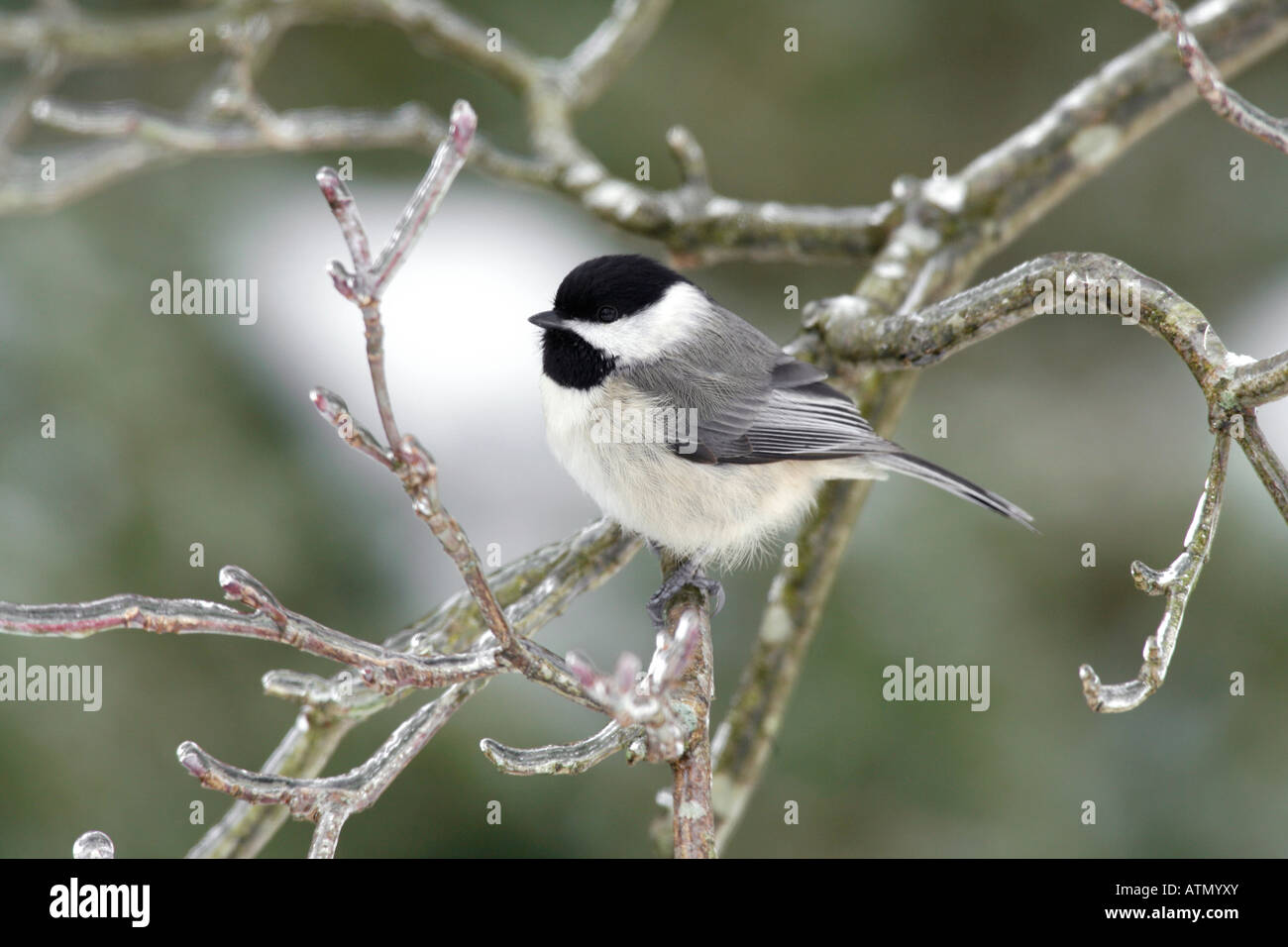 Carolina Chickadee in Winter - Stock Image