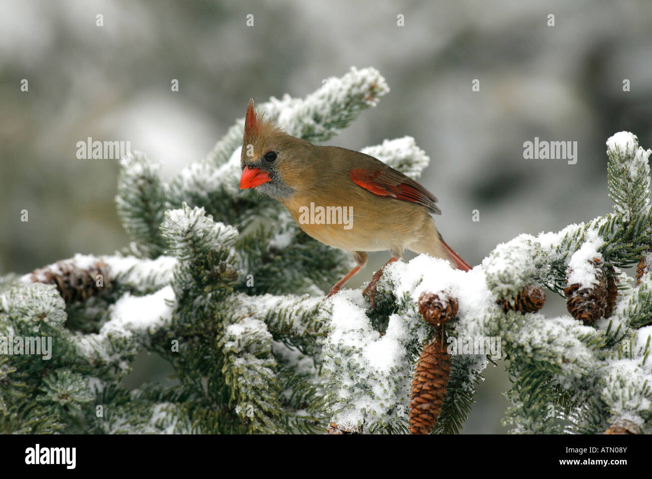 Female Northern Cardinal Perched in Snow Covered Spruce Tree - Stock Image