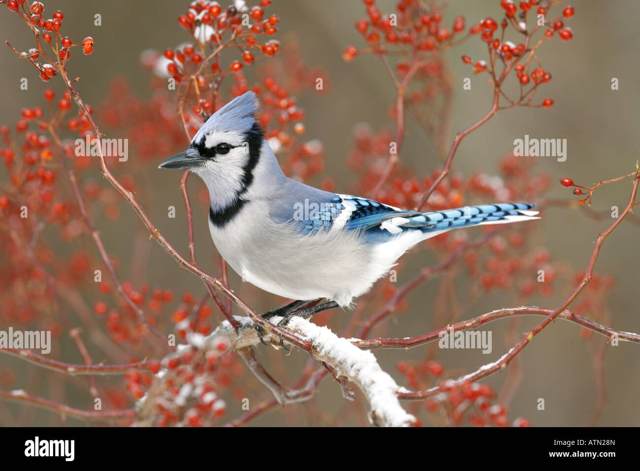Blue Jay Perched in Snow Covered Multiflora Rose Berries Stock Photo