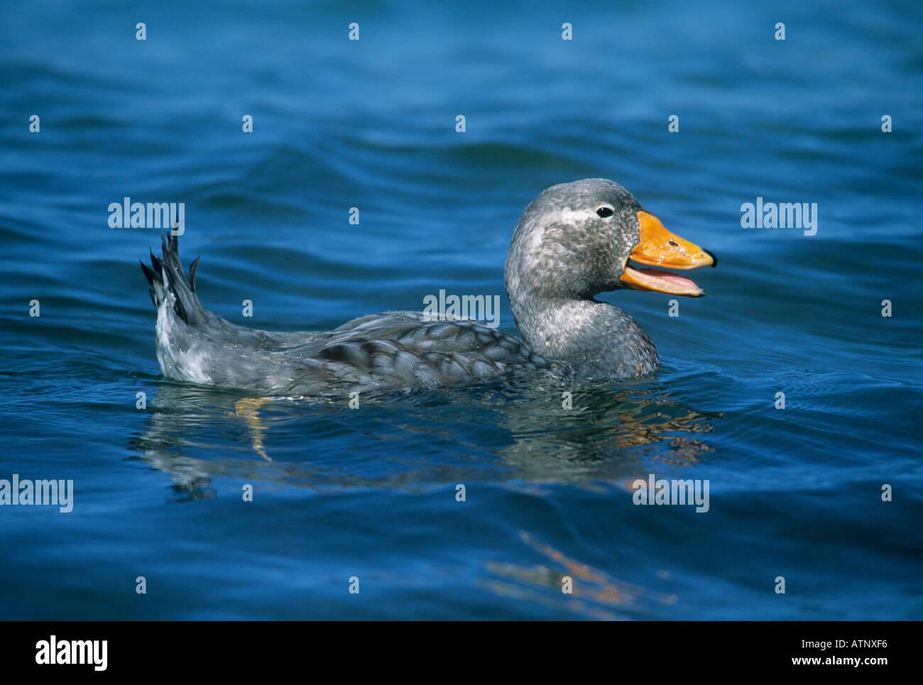 FALKLAND FLIGHTLESS STEAMER DUCK (Tachyceres brachypterus) male in the water, Falkland Islands - Stock Image