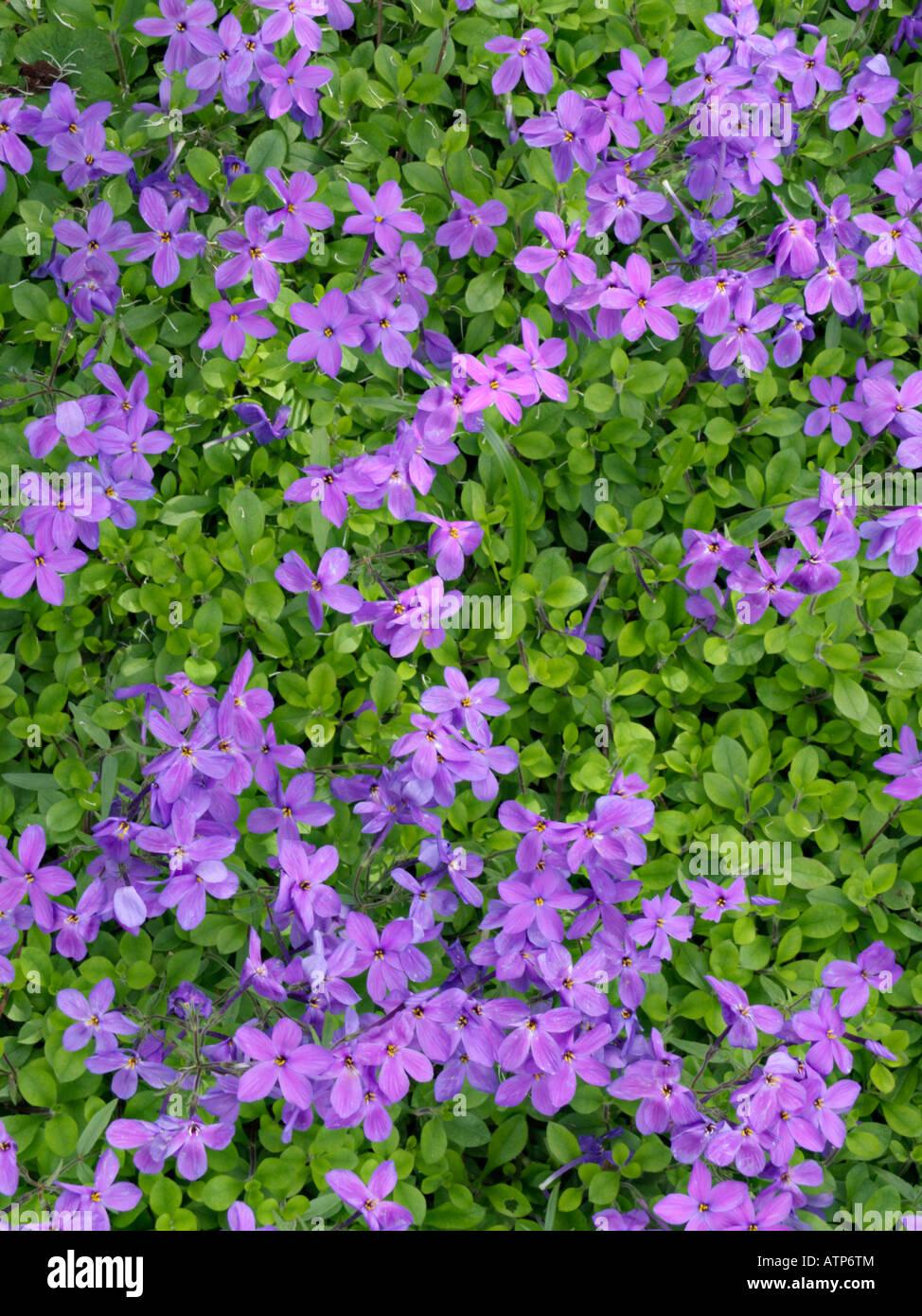 Creeping phlox (Phlox stolonifera 'Purpurea') - Stock Image
