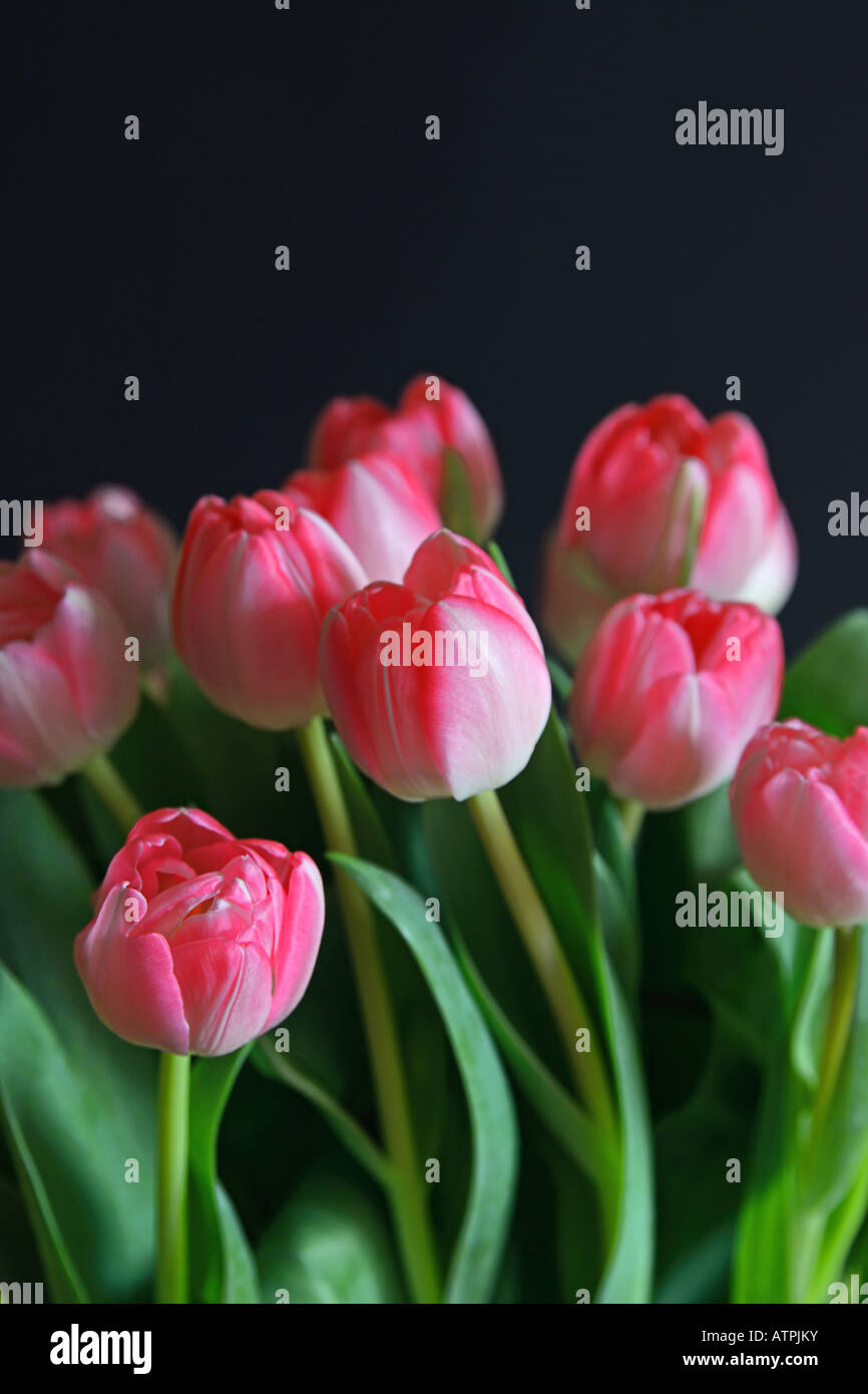 a bunch of pink tulips - Stock Image
