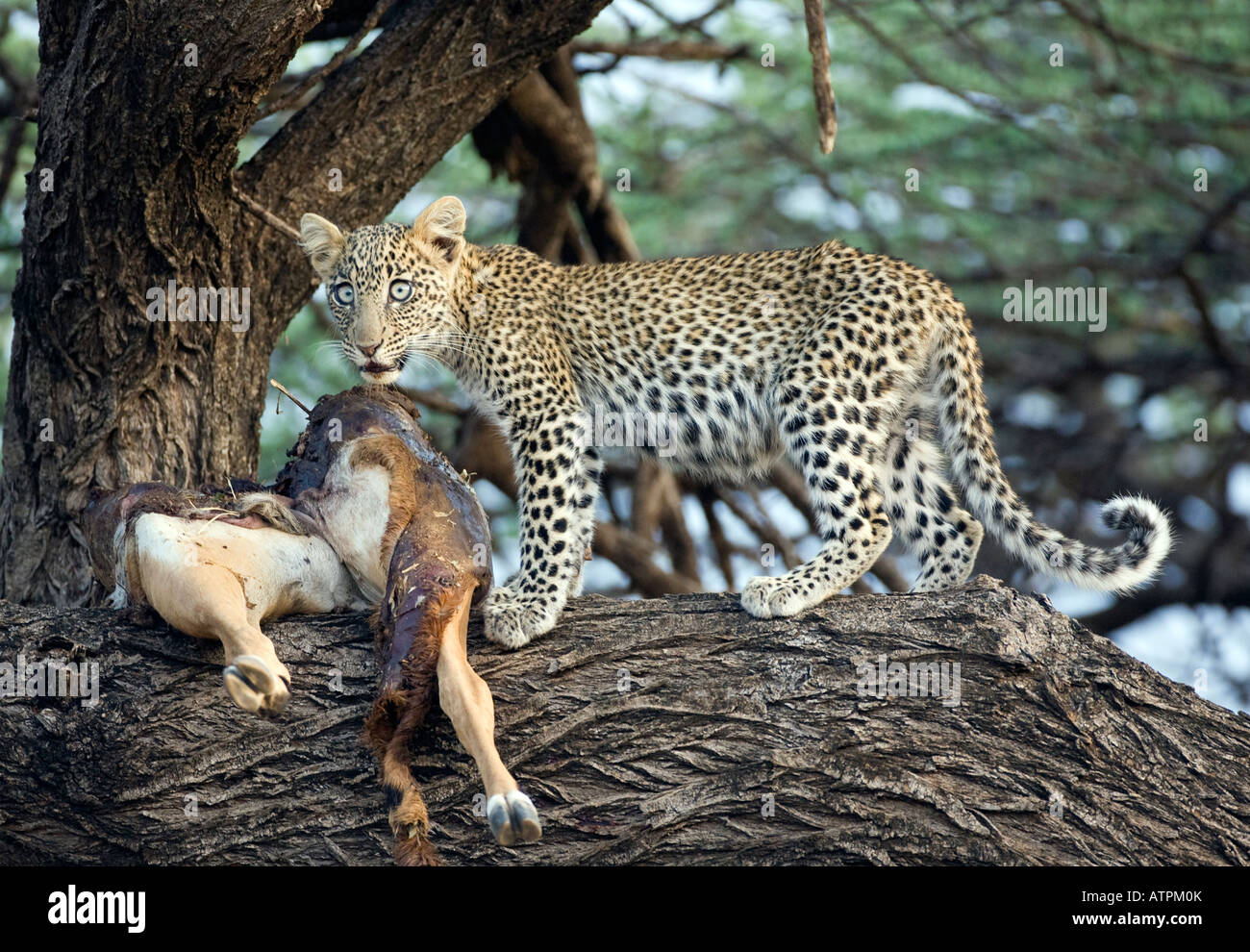 Leopard cub (panthera pardus) with Impala kill in tree - Stock Image