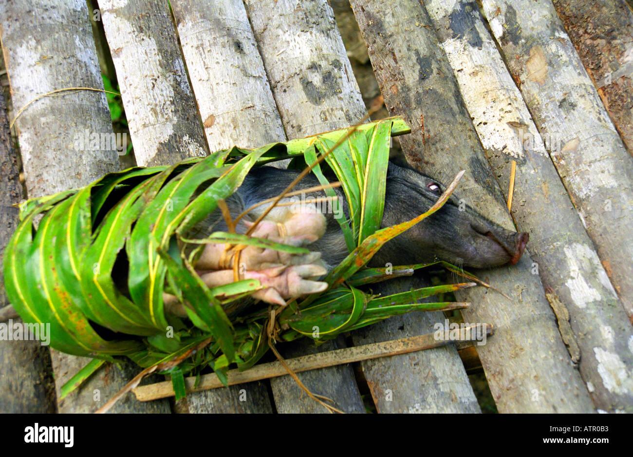 captured pig on Siberut island Sumatra - Stock Image