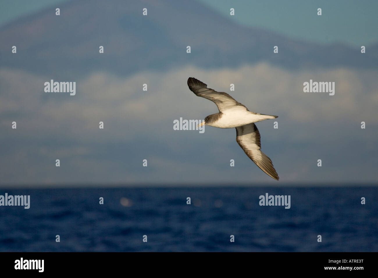Calonectris Diomedea Cory s Shearwater soaring - Stock Image