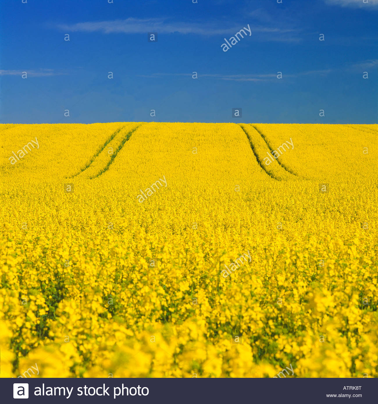 A Field Of Yellow Flowers In South Skane Stock Photos A Field Of