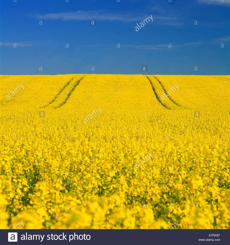 A field of yellow flowers in south skane sweden stock photo a field of yellow flowers in south skane sweden mightylinksfo