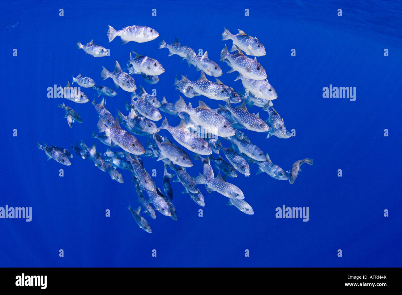 Spotted Oceanic Triggerfish, Canthidermis maculatus, reach a length of approximately 20 inches and up to 5 pounds. - Stock Image