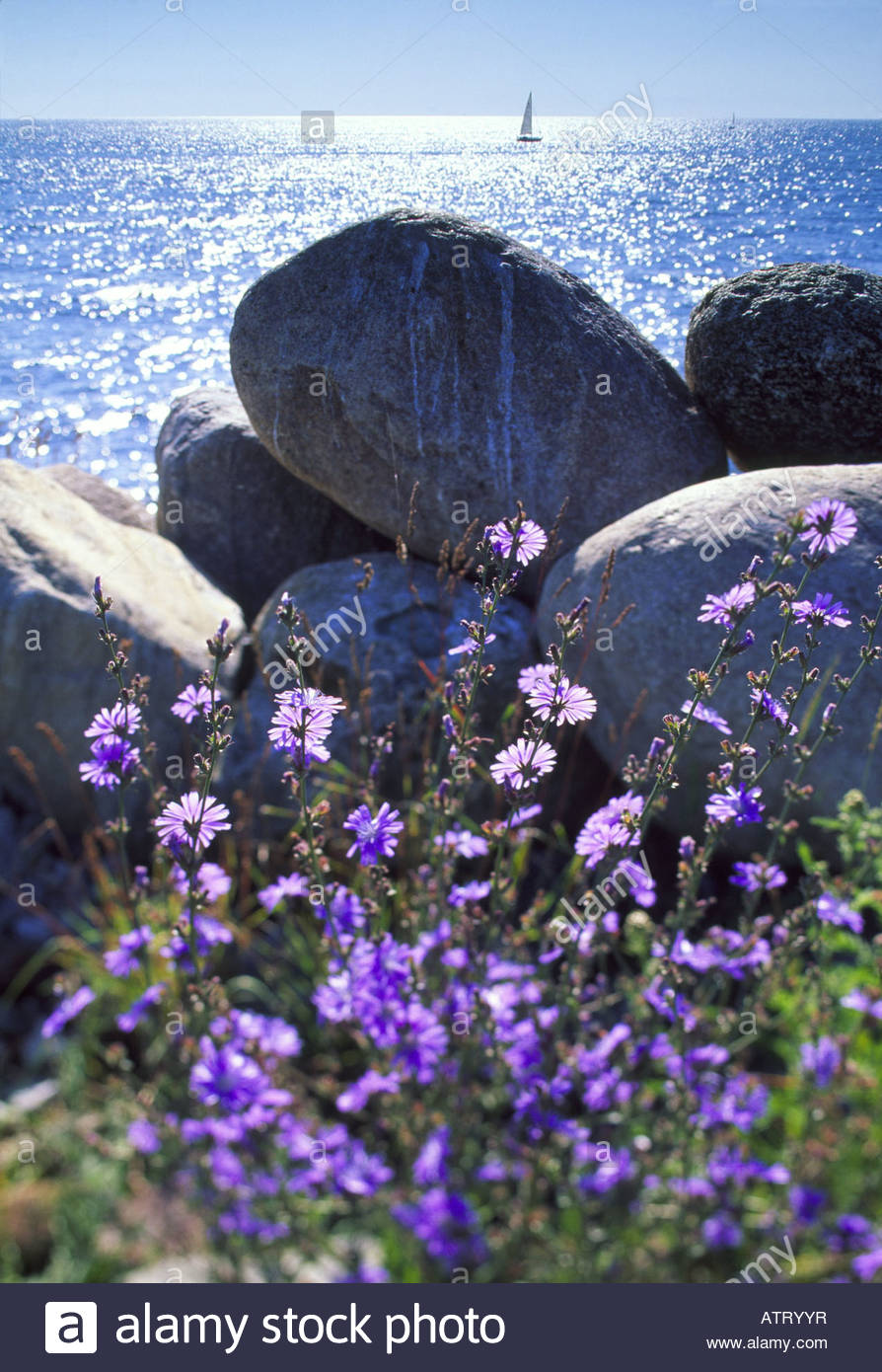 Flower plants at the coast, Skane, Sweden - Stock Image