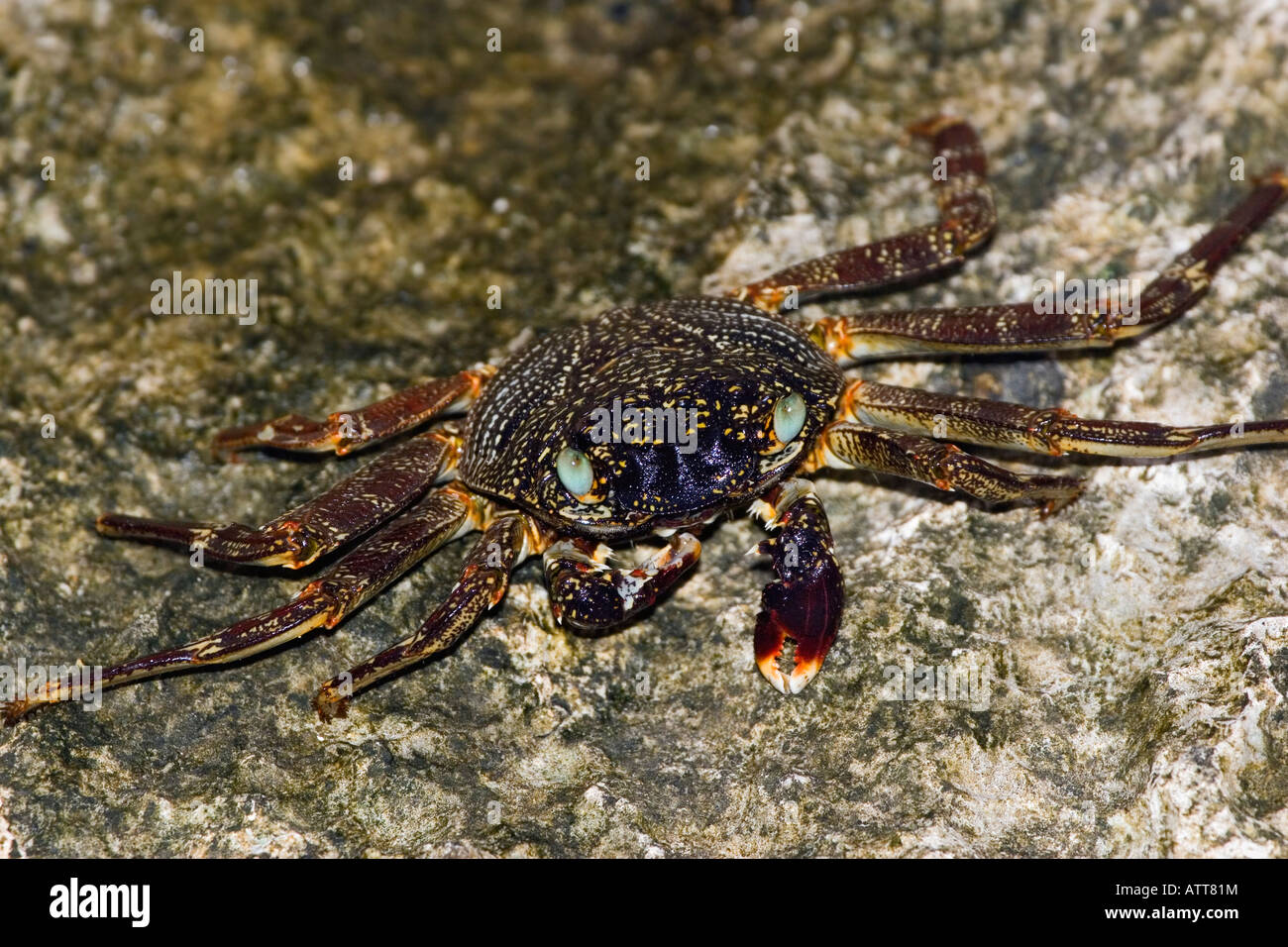 Thin shelled rock or grapsid crabs, Grapsus tenuicrustatus, live on rocky shores and in the nearby shallow water, - Stock Image