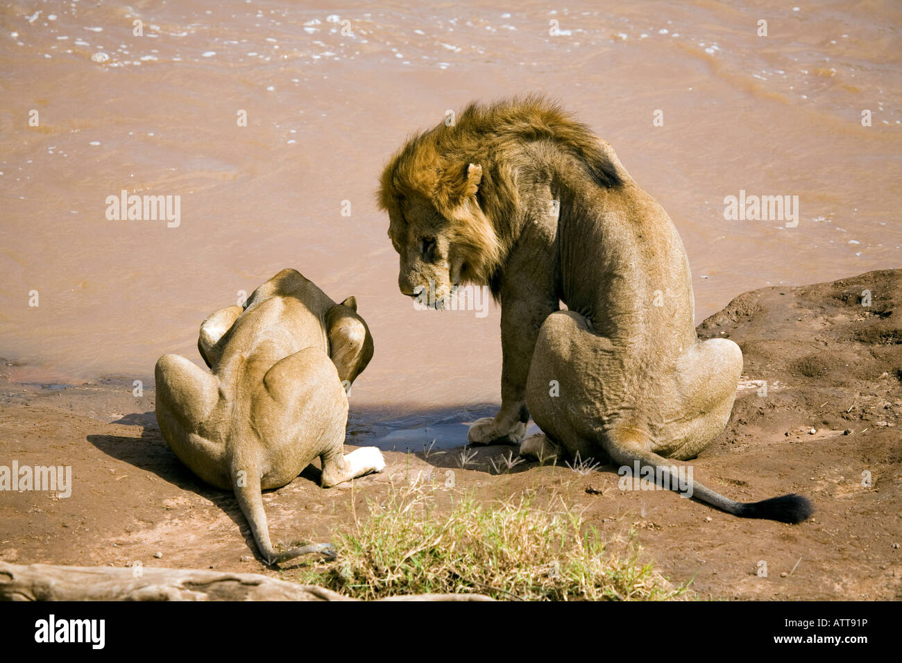Lions (panthera leo) in courtship pre-mating, Samburu, Kenya - Stock Image