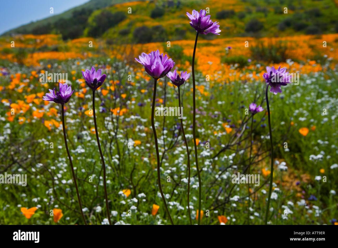 California Wild flowers Railroad Canyon Riverside County California - Stock Image