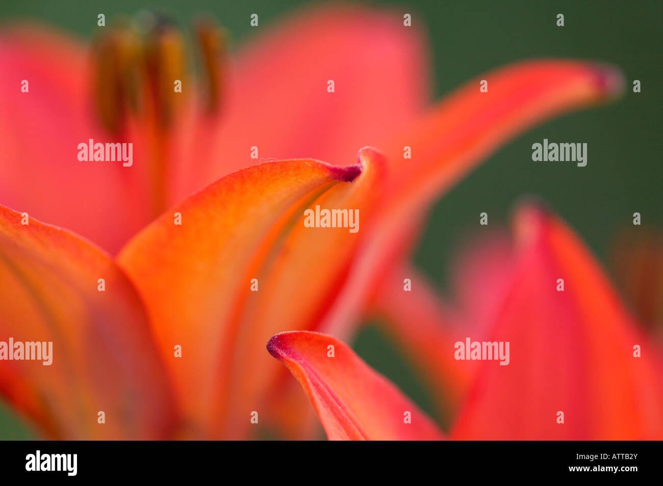 wood lily (Lilium philadelphicum), Richard M, and Mathilda rice Elliot Scientific Natural Area, Minnesota - Stock Image
