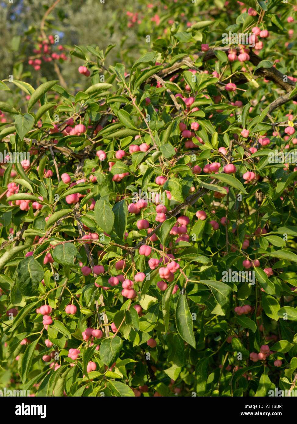 euonymus alatus winged spindle tree stock photos. Black Bedroom Furniture Sets. Home Design Ideas