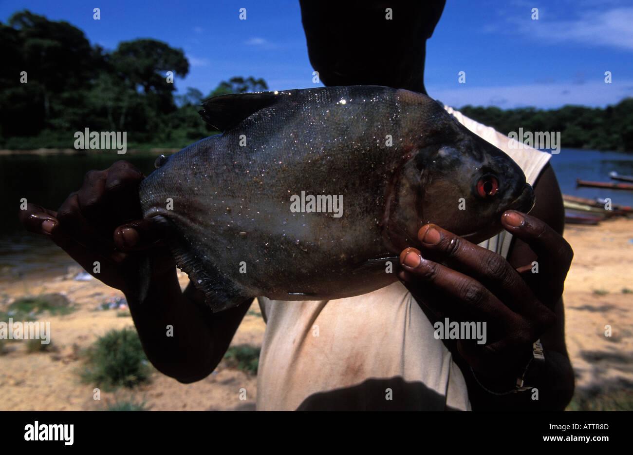 A piranha caught in the Suriname River - Stock Image