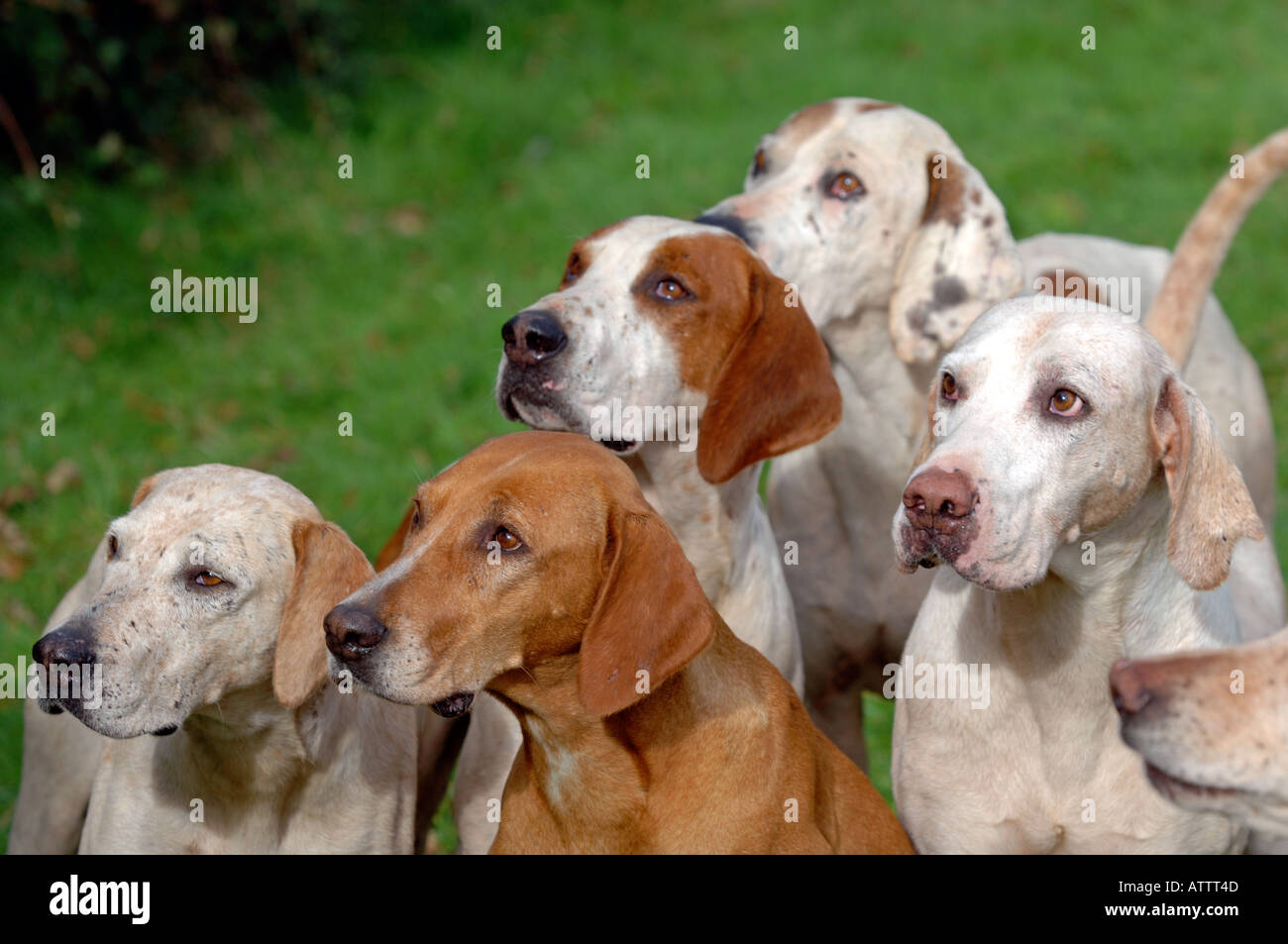 Close up of fox hunting hounds - Stock Image