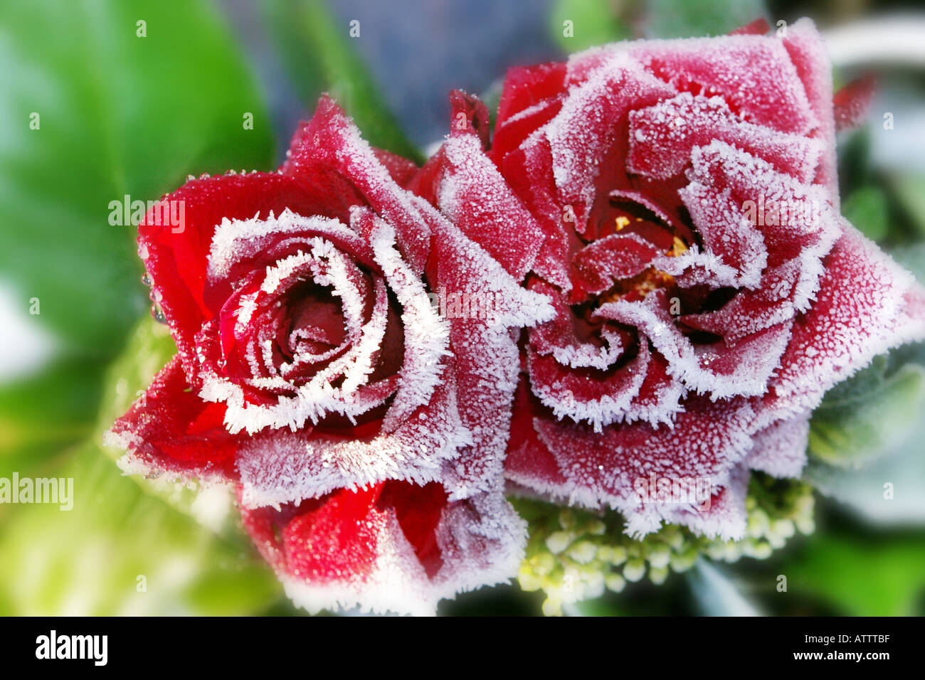 two delicate frost covered red roses Stock Photo