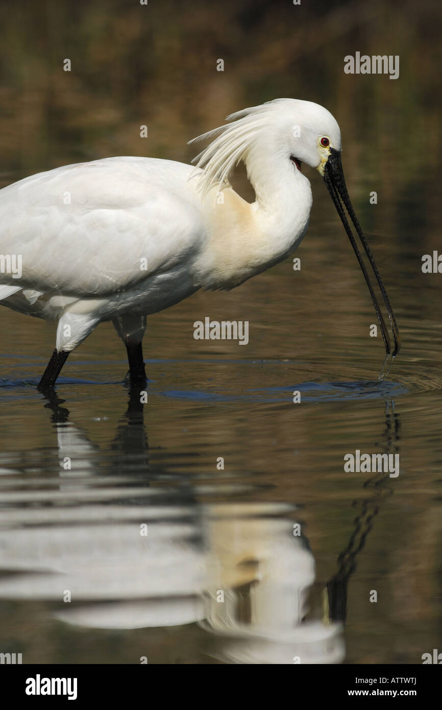 Platarea leucorodia spatola spoonbill uccelli bird Texel Nederland Holland water pond - Stock Image