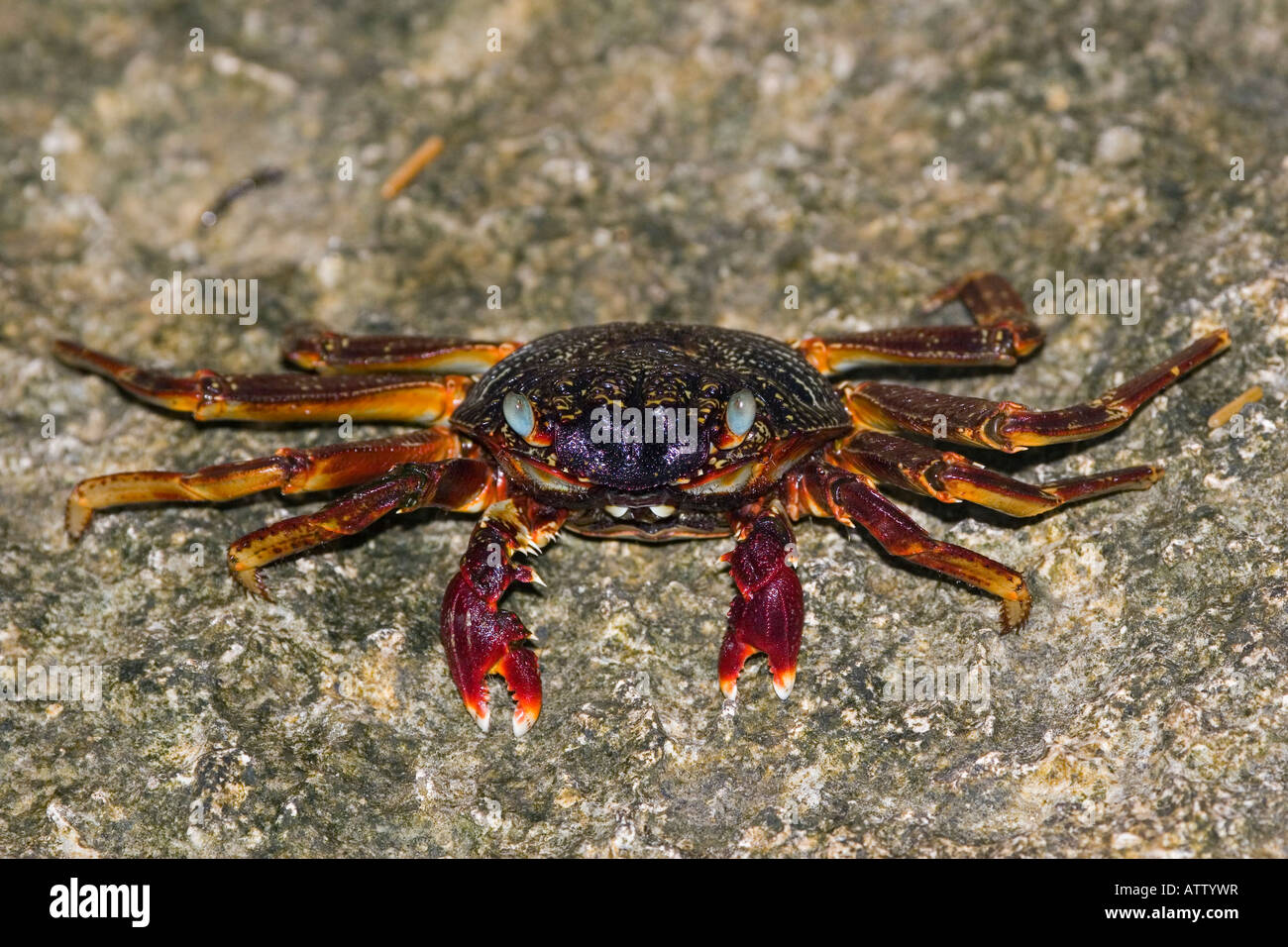 Rock or grapsid crabs, Grapsus sp, live on rocky shores and in the nearby shallow water, Fiji. - Stock Image