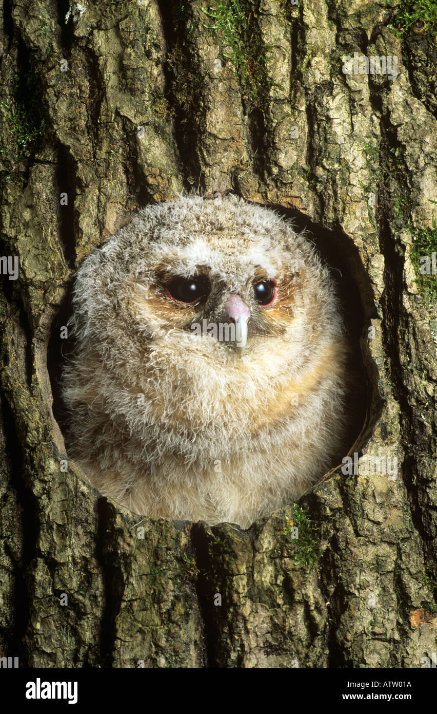 [Tawny owl ] chick in nest hole - Stock Image