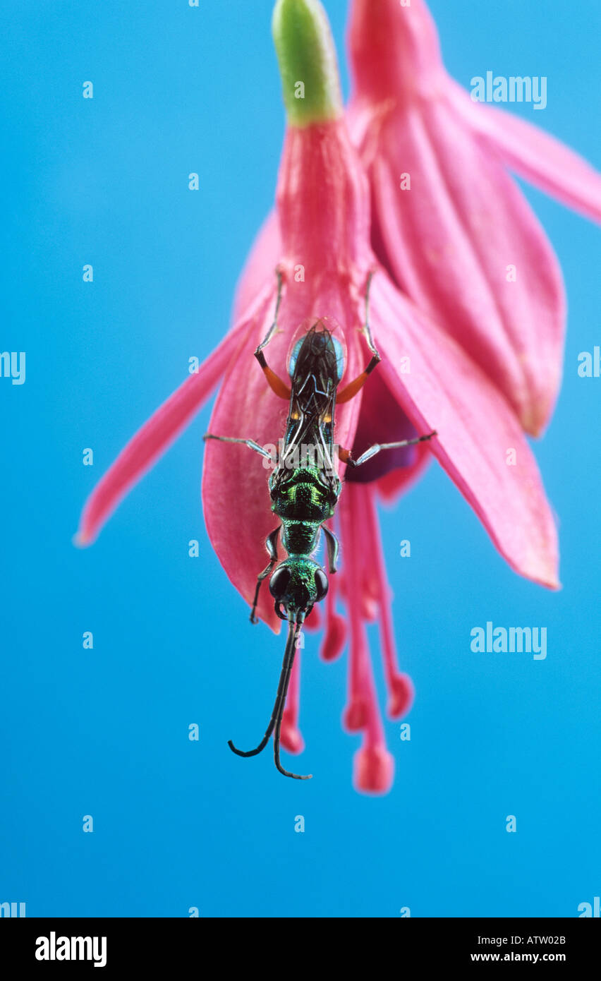 Jewel wasp - Stock Image