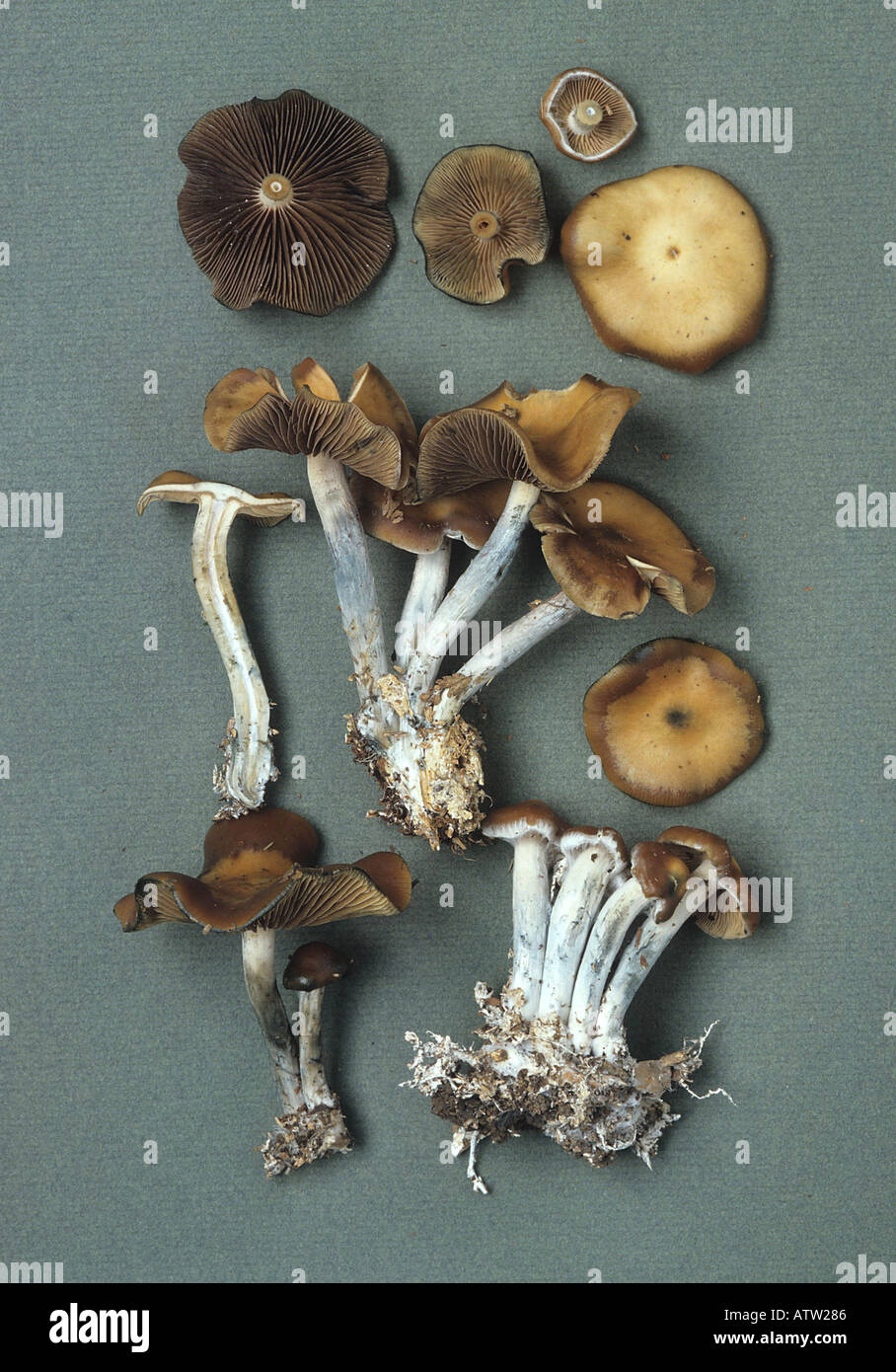 Cyanescens Stock Photos & Cyanescens Stock Images - Alamy