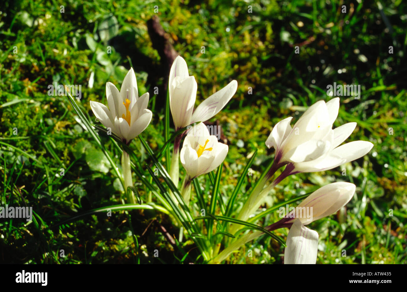 Wild white crocus flowers stock photo 3052596 alamy wild white crocus flowers mightylinksfo