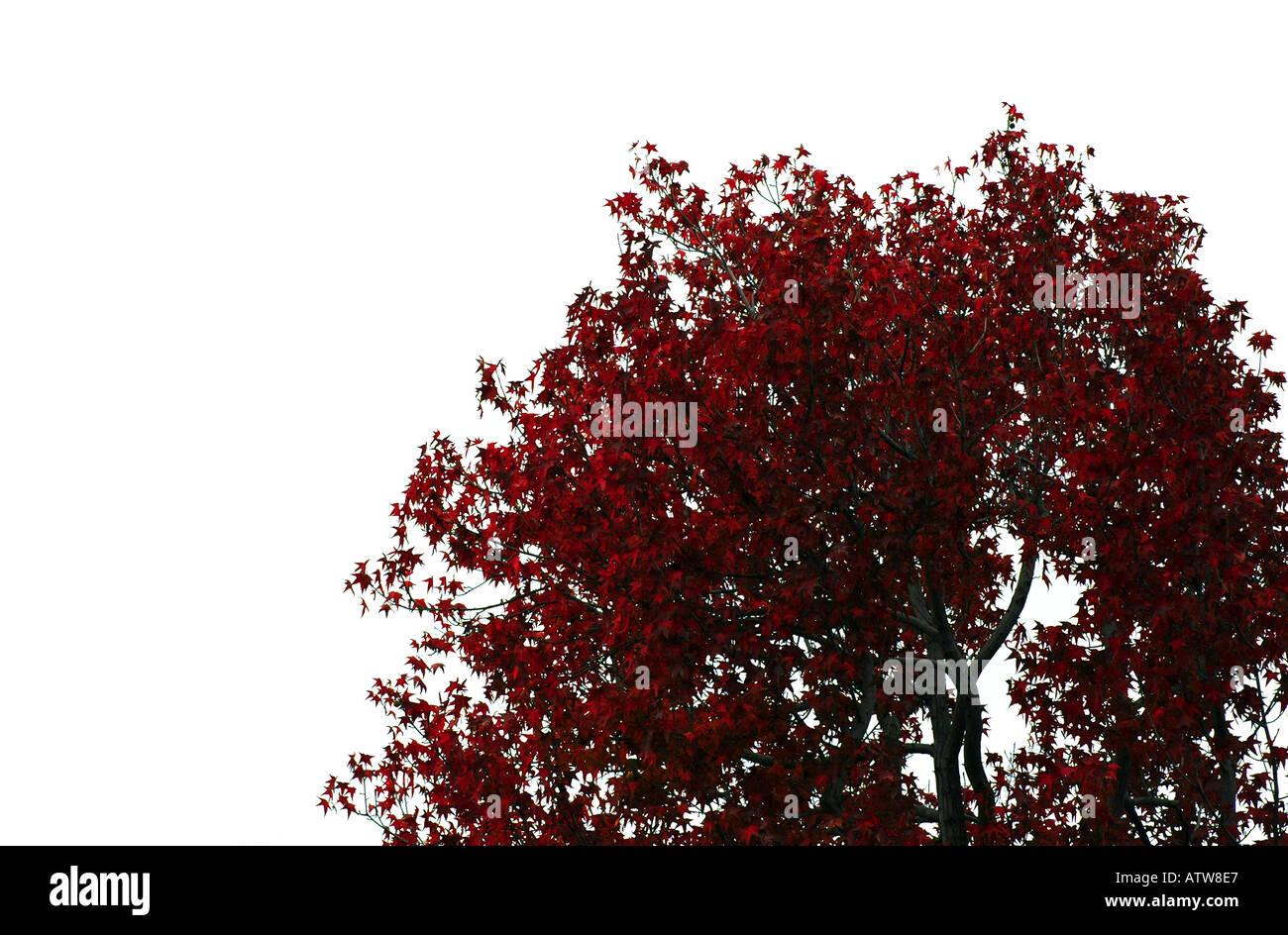 Late Autumn Crimson Leaves Black Tree Branches Against A Stark