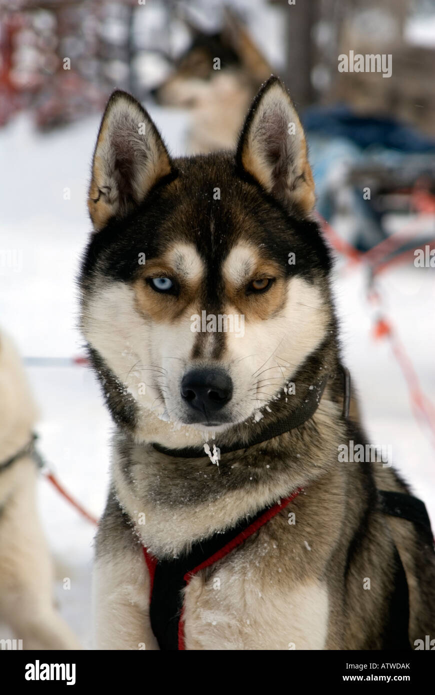 Team of husky dogs ready to pull a musher and sledge beond the artic circle Lapland Finland - Stock Image