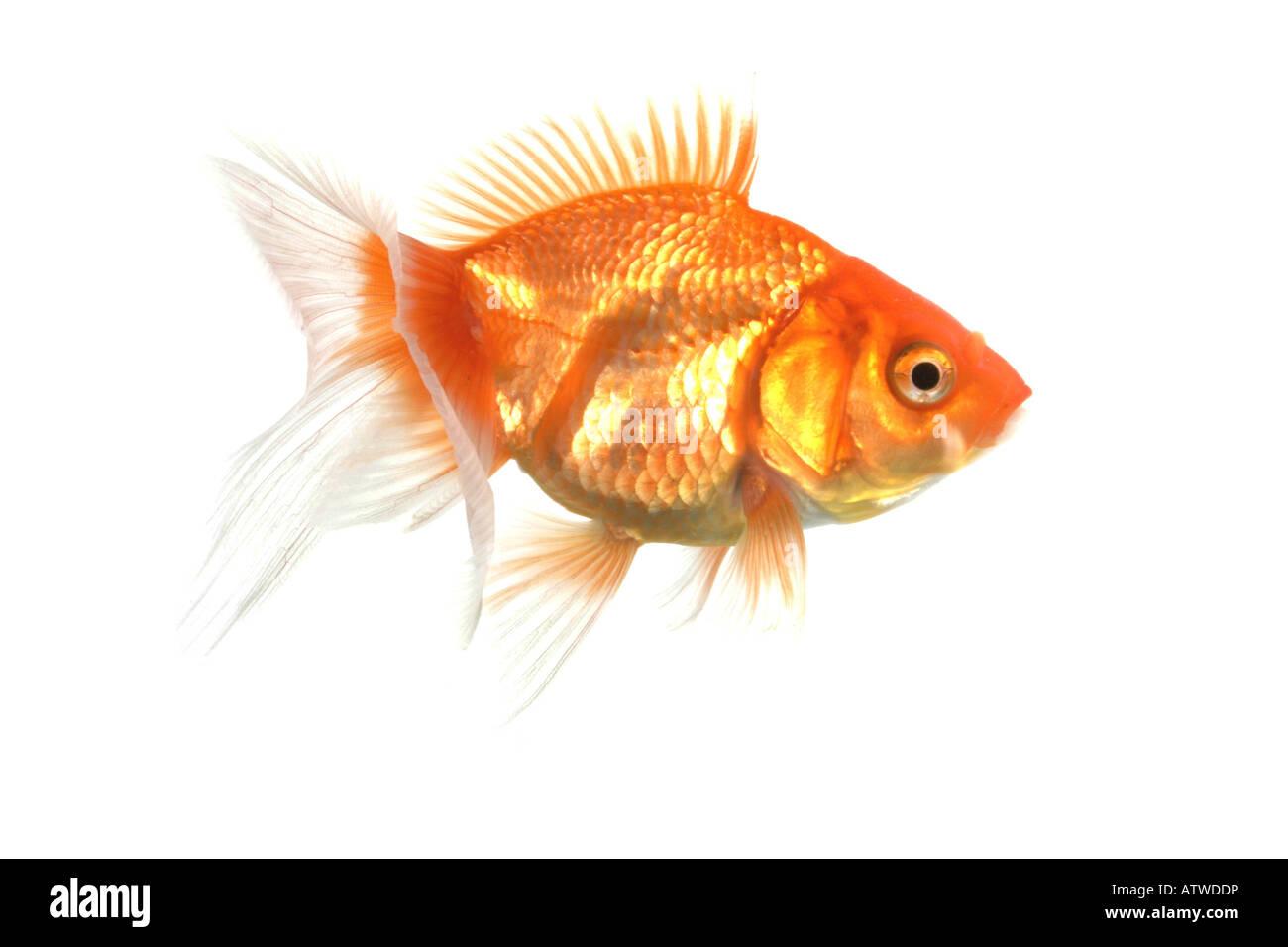 goldfish common carp Carassius auratus Stock Photo