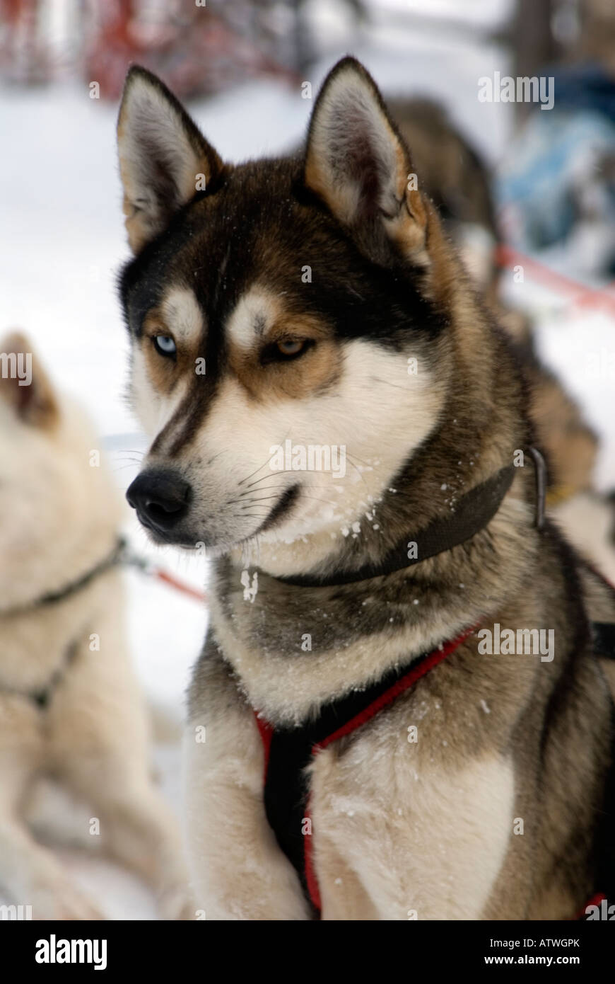 Team of husky dogs ready to pull a musher and sledge beond the artic circle Lapland Finland Stock Photo