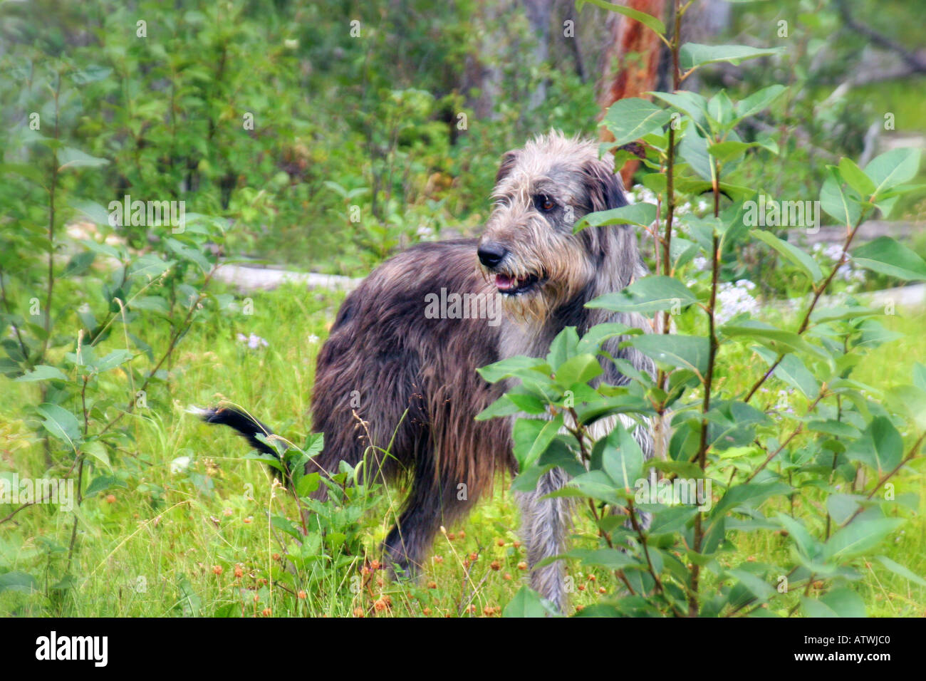 Irish Wolfhound - Stock Image