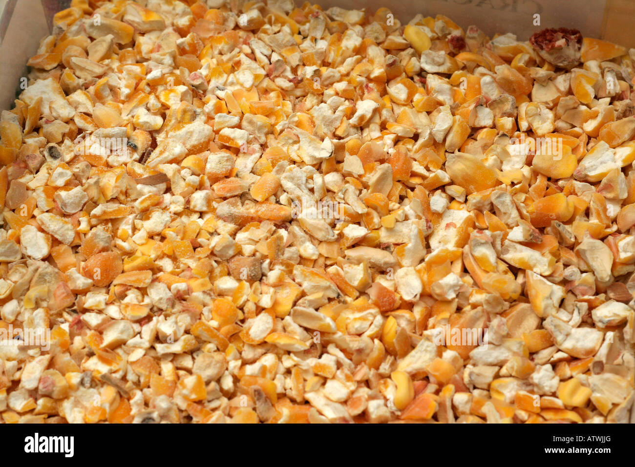 Coarsely cracked yellow corn (maize) for animal feed Stock