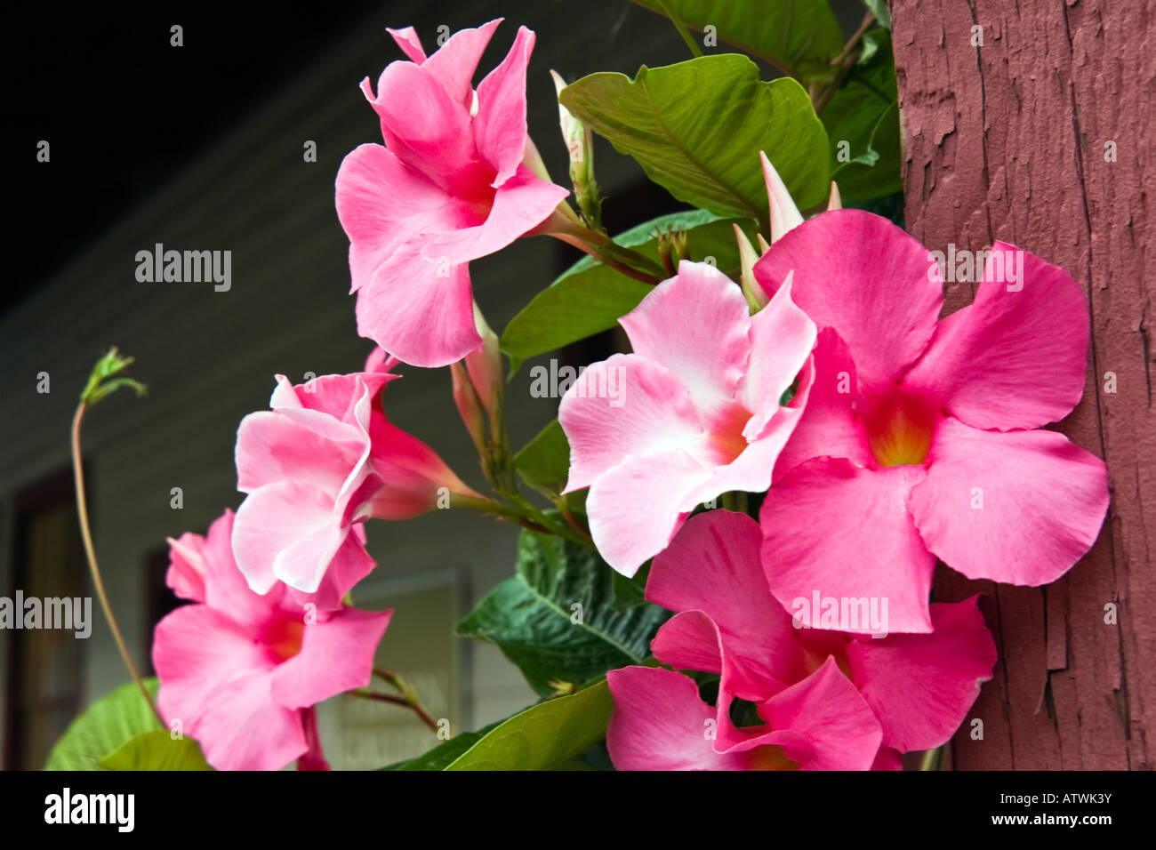 Pink morning glories climb up the front porch post - Stock Image