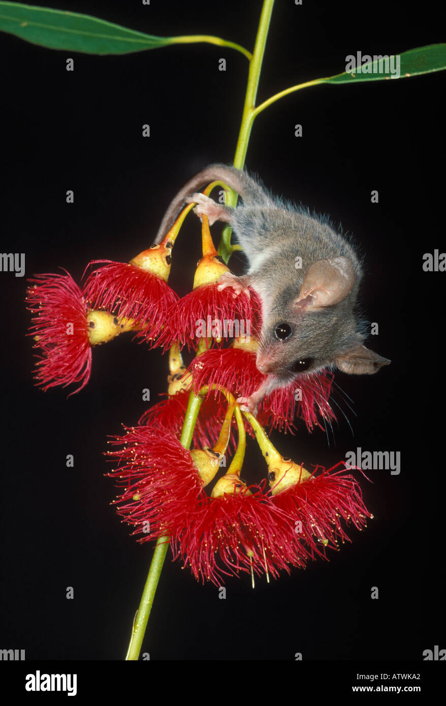 Carte Australie Tasmanie.Little Pygmy Possum Cercartetus Lepidus Photographed In