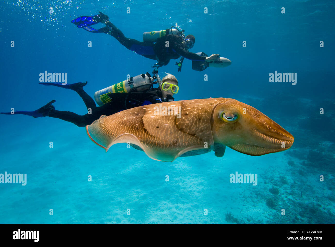 Divers on underwater scooters and a common cuttlefish, Sepia officinalis, in Palau, Micronesia. Stock Photo